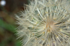 Dandelion plant macro. Abstract nature background. Selective focus Royalty Free Stock Photos