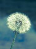 Dandelion plant nature  background Stock Image
