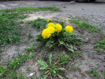 Dandelion - a plant that never gives up! Stock Photos