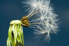 Dandelion plant with seeds Royalty Free Stock Image