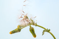 Dandelion plant with seeds flying isolated on blue Stock Photos