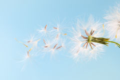 Dandelion plant with seeds isolated. On blue royalty free stock photos