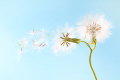 Dandelion plant with seeds isolated on blue Royalty Free Stock Images