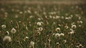 Dandelion Plant Summer Season day. Light stock video