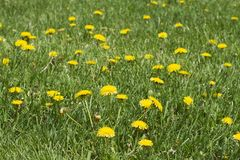 Dandelion Plant weeds background. A dandelion plant weed background with nobody stock photos