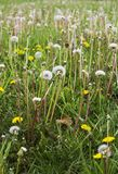 Dandelion Plant weeds background. A dandelion plant weed background with nobody stock image