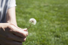 Dandelion plant in woman hand Stock Photo