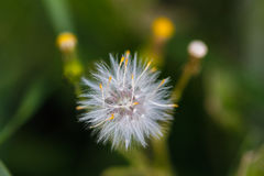 Dandelion. Royalty Free Stock Images