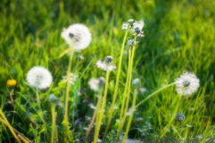 Dandelion plants. In detail mode stock image