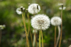 Dandelion Plants gone to Seed, Weeds Royalty Free Stock Image