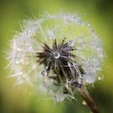 Dandelion Po deszczu Obraz Royalty Free