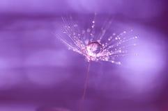 Dandelion po deszczu z kroplami woda Obrazy Stock