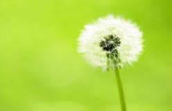 Dandelion pod. Close up shot of dandelion pod Stock Photography