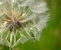 Dandelion podejścia obraz royalty free