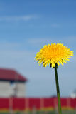 dandelion pojedynczy Zdjęcie Royalty Free