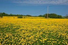 Dandelion pole Zdjęcie Royalty Free