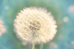 Dandelion pole lato zmierzch fotografia royalty free