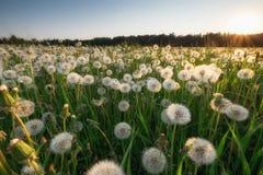 Dandelion pole przy zmierzchem Zdjęcie Royalty Free
