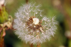 Dandelion With Pollen. Dandelion, beautiful stock photo