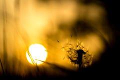 Dandelion pomarańcze i sylwetki zmierzch Obrazy Stock