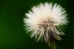 Dandelion portrait Stock Photography