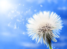 Dandelion portrait Stock Image