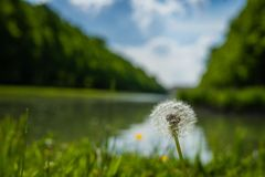 Dandelion potrait with blurry background. At sunny day royalty free stock images
