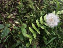 Dandelion prevailing in the bush royalty free stock image
