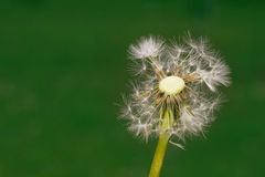 Dandelion Propagation Stock Image