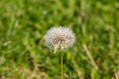 Dandelion przeciw tłu trawa Zdjęcia Stock