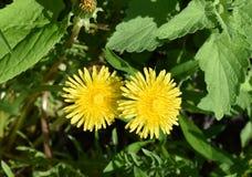 Dandelion przeciw zielonemu ulistnieniu zdjęcie stock