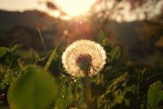 Dandelion przy zmierzchem obraz stock