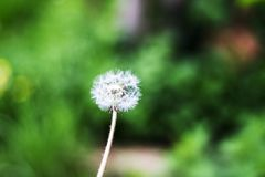 Dandelion puff ball, blow ball, seed head, leontodon taraxacum from low angle or perspective isolated with select focus. Soft bokeh background stock image