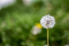Dandelion puff ball, blow ball, seed head, leontodon taraxacum from low angle or perspective isolated with select focus. Soft bokeh background royalty free stock images