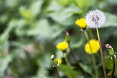 Dandelion puff ball, blow ball, seed head, leontodon taraxacum from low angle or perspective isolated with select focus, soft boke. H background stock photography