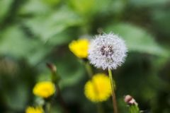 Dandelion puff ball, blow ball, seed head, leontodon taraxacum from low angle or perspective isolated with select focus, soft boke. H background stock images