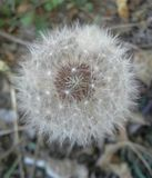 Dandelion puff ball Royalty Free Stock Photo