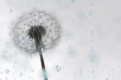 Dandelion puff on blue rain royalty free stock photo