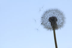 Dandelion puff on blue sky royalty free stock photography