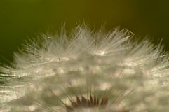 Dandelion puff-ball closeup Royalty Free Stock Photo