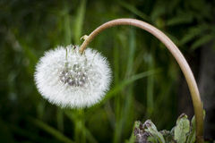 Dandelion puff. A perfectly shaped dandelion puff hanging down Royalty Free Stock Images