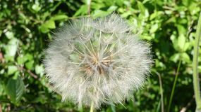 Dandelion Puff ready to grant your wishes stock photography