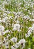 Dandelion puffs. Lot of dandelion puffs in a grass field Royalty Free Stock Image
