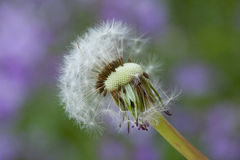Dandelion on purple background Royalty Free Stock Images
