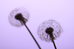 Dandelion on purple background Stock Photo