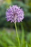 Dandelion. Purple dandelion flower growing in the garden Royalty Free Stock Image