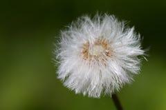 Dandelion Royalty Free Stock Image