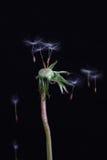 dandelion puszka wolność Obrazy Royalty Free
