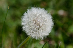 Dandelion puszysta głowa fotografia royalty free