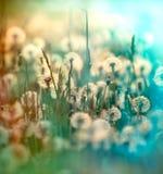 Dandelion puszysty blowball obraz stock
